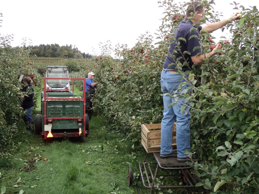 Der Chef bei der Apfelernte